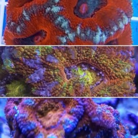 Pack mix 6 acanthastrea frags
