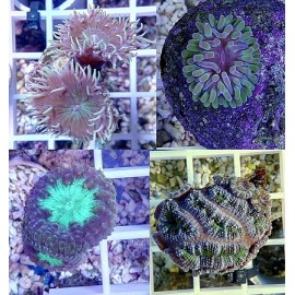 Coral LPS